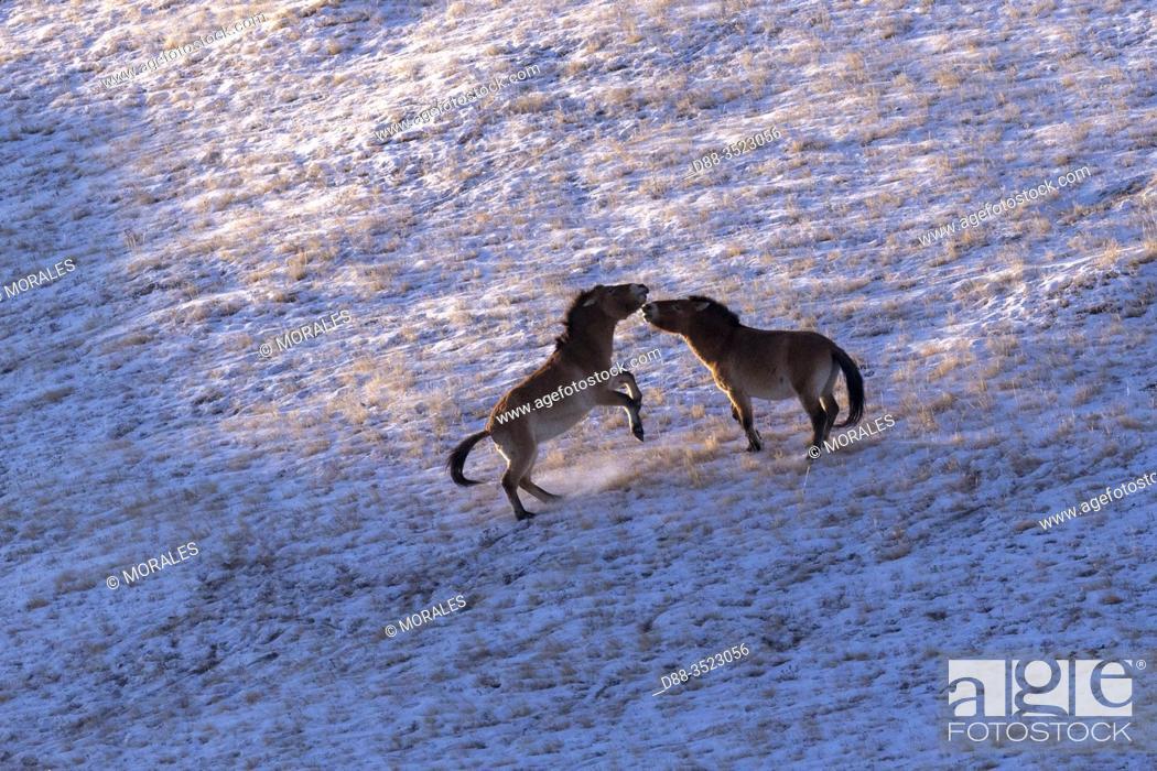Stock Photo: Asie, Mongolie, Parc national Hustai, Cheval de Przewalski (Equus caballus przewalskii ou Equus ferus przewalskii), relâché à partir de 1993 dans le parc.