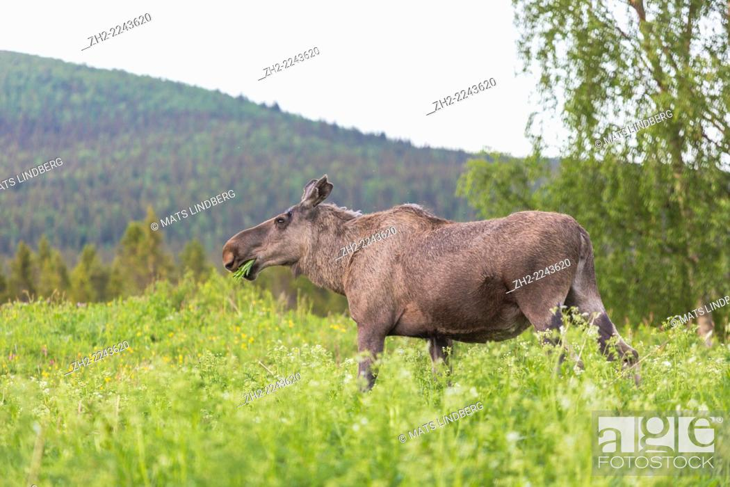 Imagen: Moose, Alces alces standing in high grass and eating, grass in his mouth, Kvikk jokk, Sweden, Swedish lapland.
