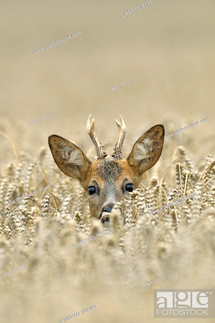 Stock Photo: Roe buck in wheat field, Capreolus capreolus, Hessen, Germany, Europe.