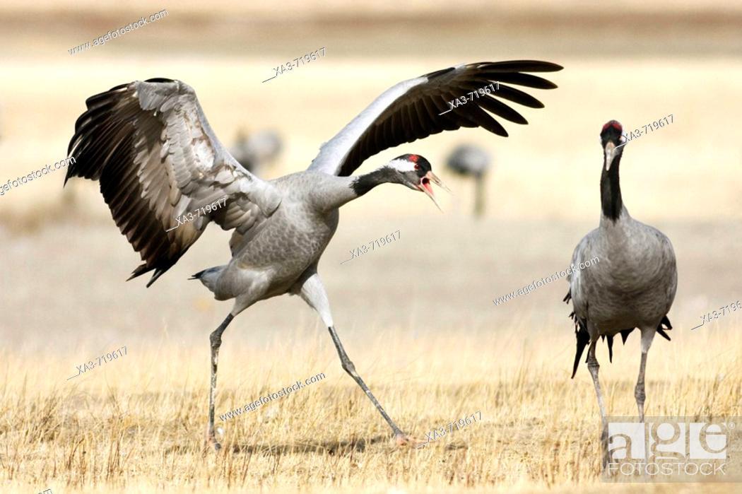 Stock Photo: Common Cranes (Grus grus) fighting. Gallocanta, Zaragoza province, Aragon, Spain.
