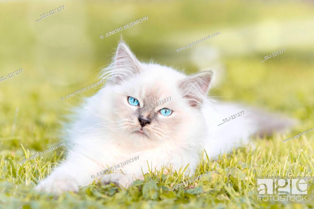 Stock Photo: Ragdoll Cat. Juvenile tomcat (13 weeks old) lying on a lawn in a garden. Germany.