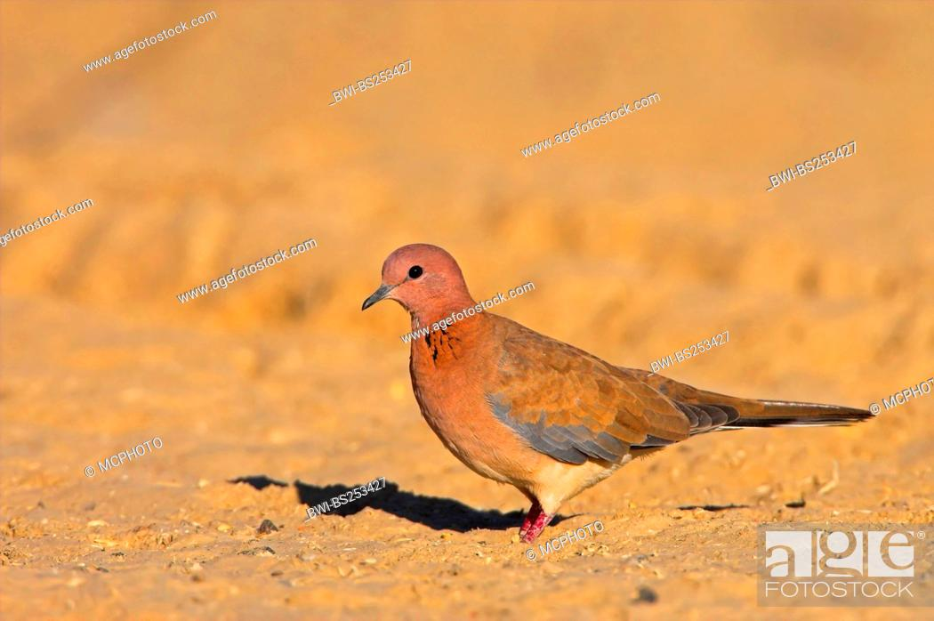 Stock Photo: laughing dove Streptopelia senegalensis, sitting on the ground, Oman.