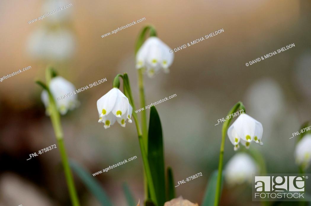 Stock Photo: Spring Snowflakes, Leucojum vernum, in forest, Upper Palatinate, Bavaria, Germany, Europe.