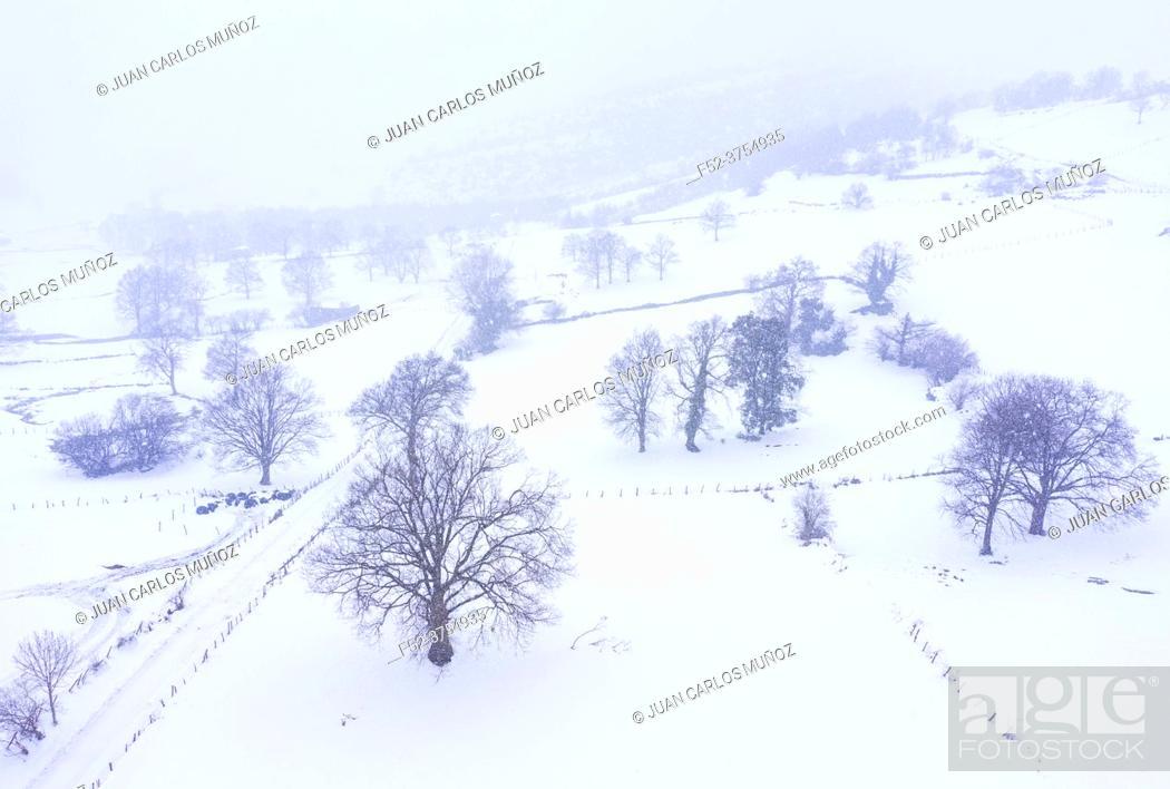 Stock Photo: Oak tree in winter. La Gándara, Alto Ason, Soba Valley, Cantabria, Spain, Europe.