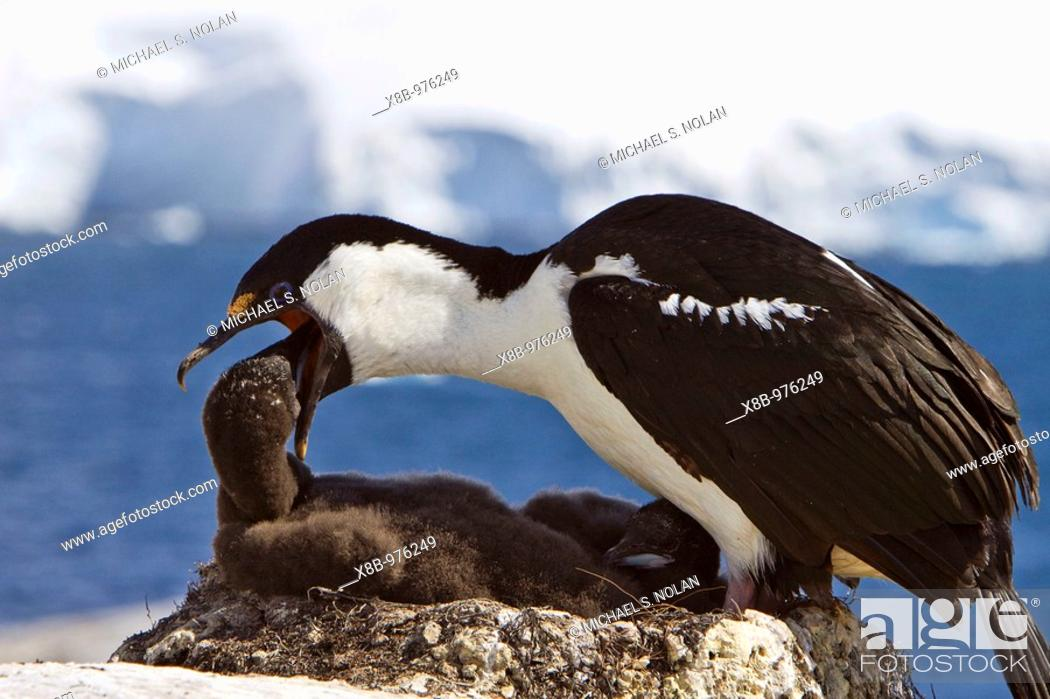 Imagen: Adult Antarctic Shag, Phalacrocorax atriceps bransfieldensis from breeding colony on the Antarctic Peninsula  It is also known as the Blue-eyed Shag and by many.