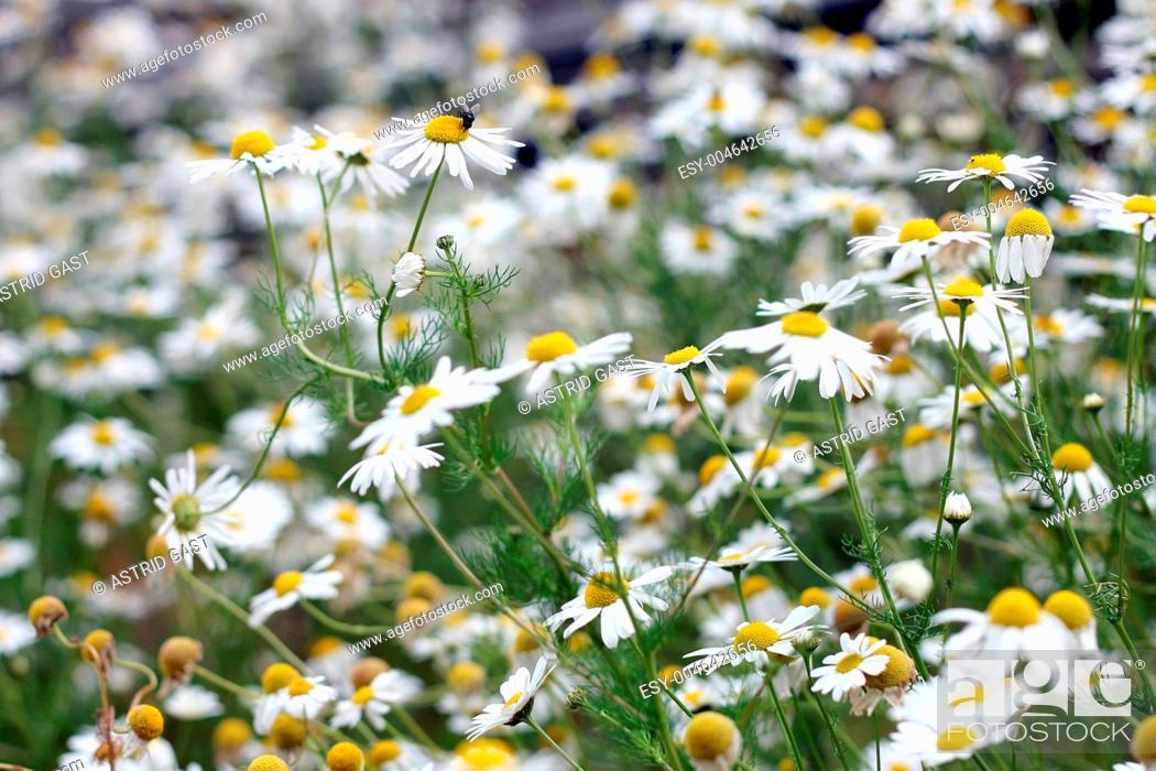 Stock Photo: Kamillenblüten bei Mensch und Tier wegen ihrer Heilwirkung beliebt.