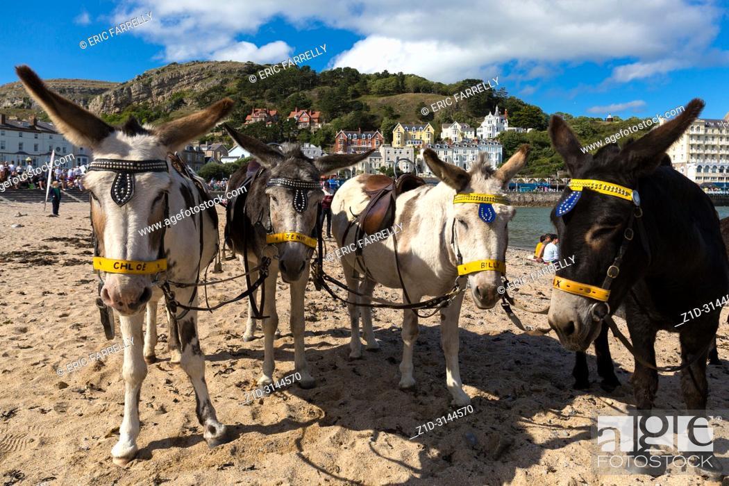 Imagen: Seaside donkey rides. LLandudno seafront front. North Wales UK.