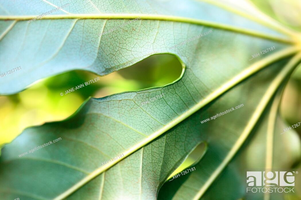 Stock Photo: Beautiful Japanese Aralia Leaf in a Contemporary Style.