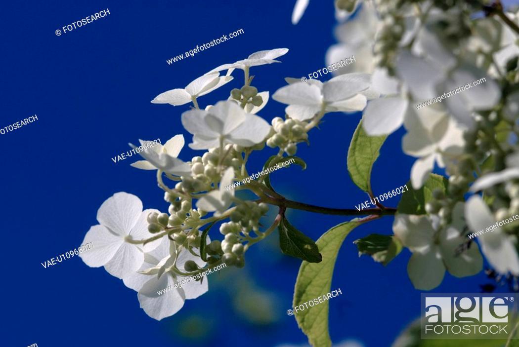 Stock Photo: outdoors, flora, belvedere, flowers, plants, saxifragaceae, ornamental shrub.