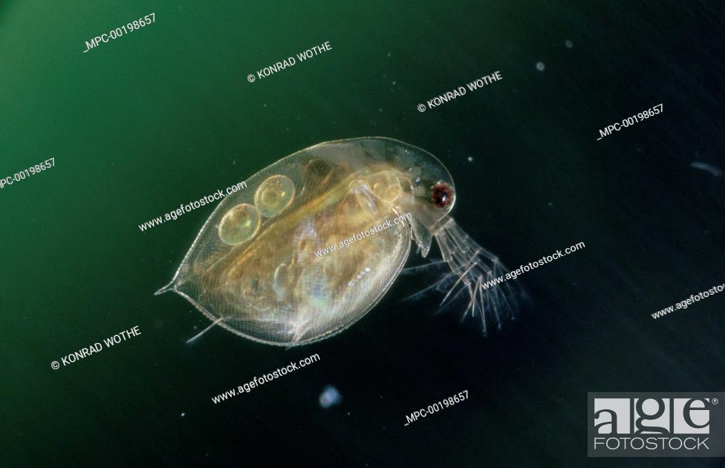 Water Flea Daphnia Pulex With Eggs In The Brood Sac Germany