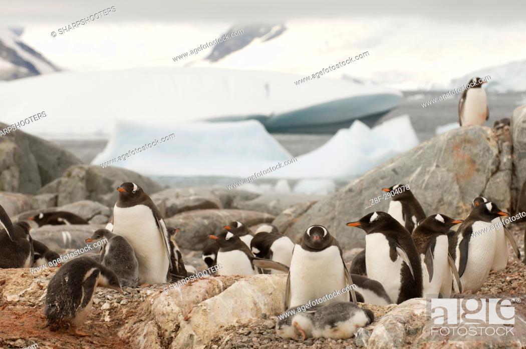 Stock Photo: Antarctica, Antarctic Peninsula, Lemaire Channel, Petermann Island, Gentoo Penguins.