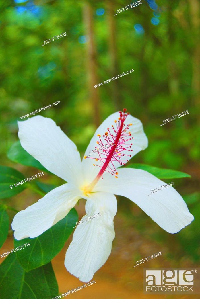 Stock Photo: Hibiscus arnottianus, endemic to Hawaii, Koki'o ke'o ke'o. Localized on O'ahu, Wai'anae side.