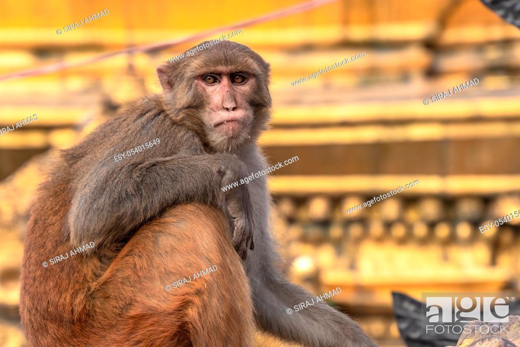 Imagen: Monkey sitting on the Vajra of Gods weapon at Swayambhunath Stupa.