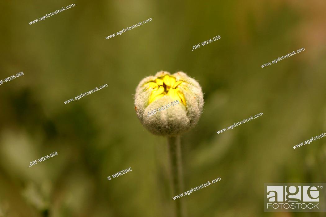 Stock Photo: Flowers, daisy, nature.
