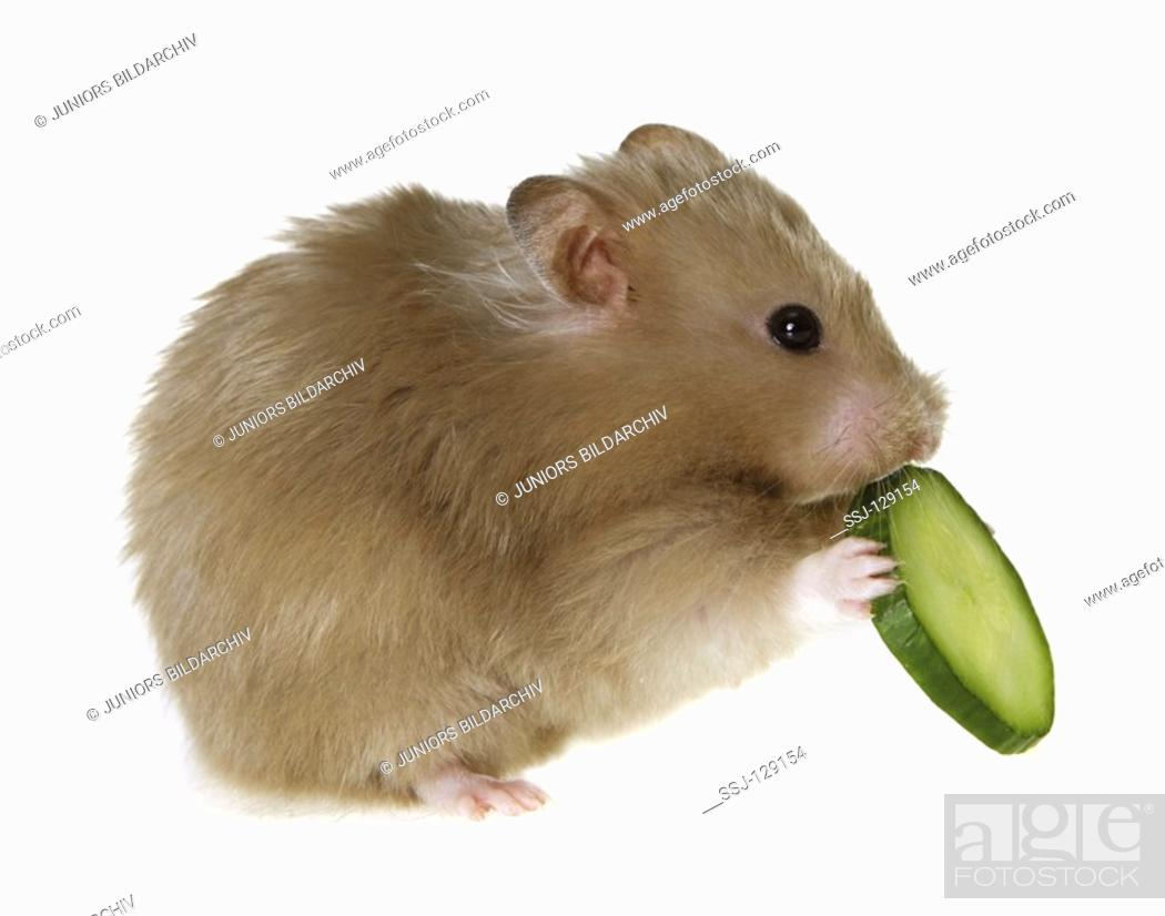 golden hamster with cucumber - cut out - Mesocricetus