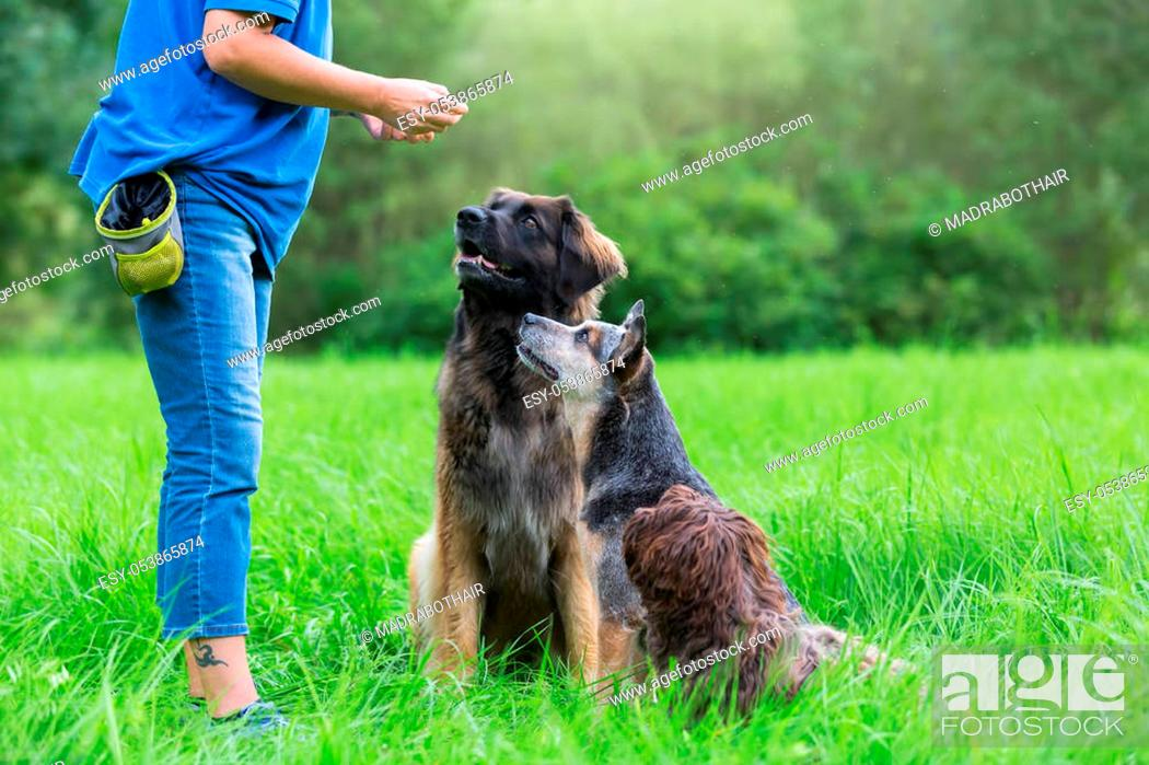 Stock Photo: a Leonberger, an Australian cattledog and a Havanese dog are waiting for a treat in front of a woman.