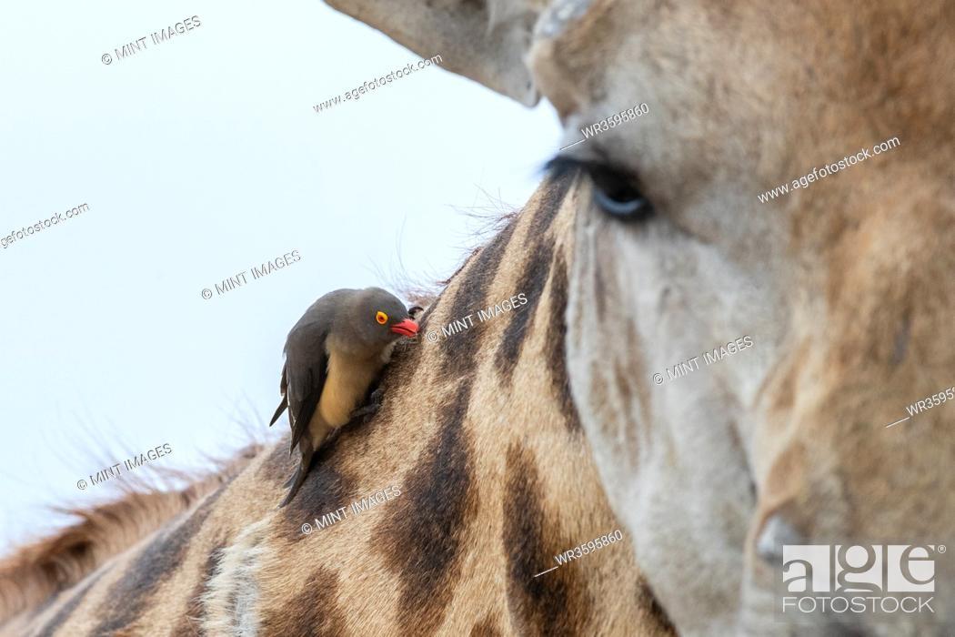 Stock Photo: A red-billed oxpecker, Buphagus erythrorhynchus, sits on the neck of a giraffe, Giraffa camelopardalis giraffa.