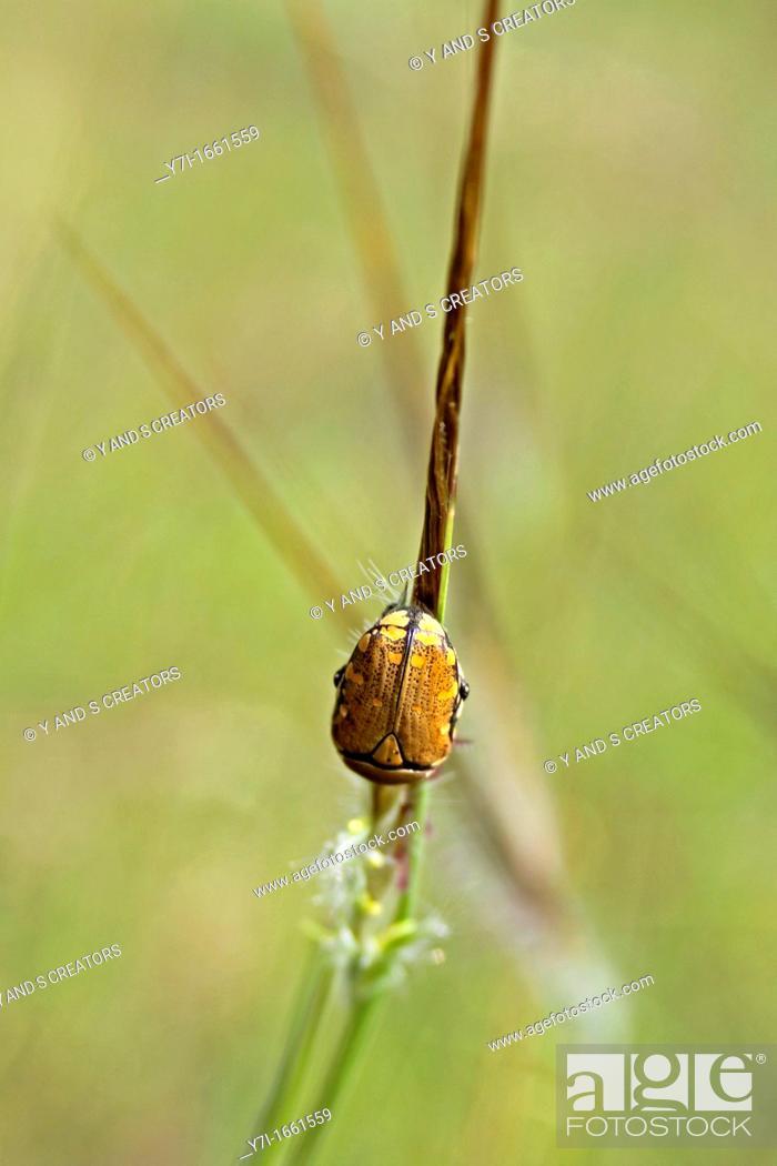Stock Photo: Gonioctena olivacea.