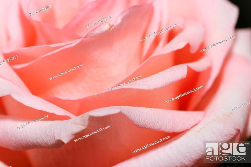Stock Photo: a close-up of pink rose petals.