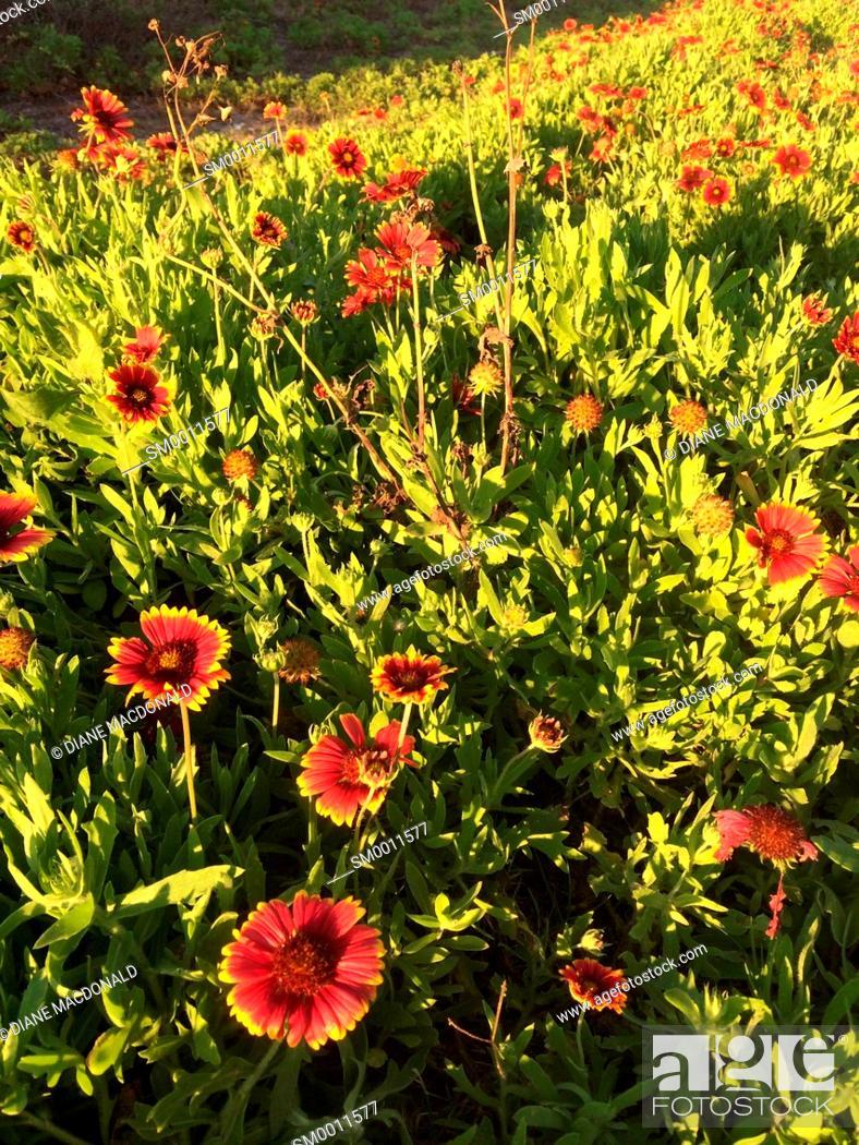 Stock Photo: Gaillardia or Indian Blanket Flower growing wild, Jacksonville Beach, Florida, USA.