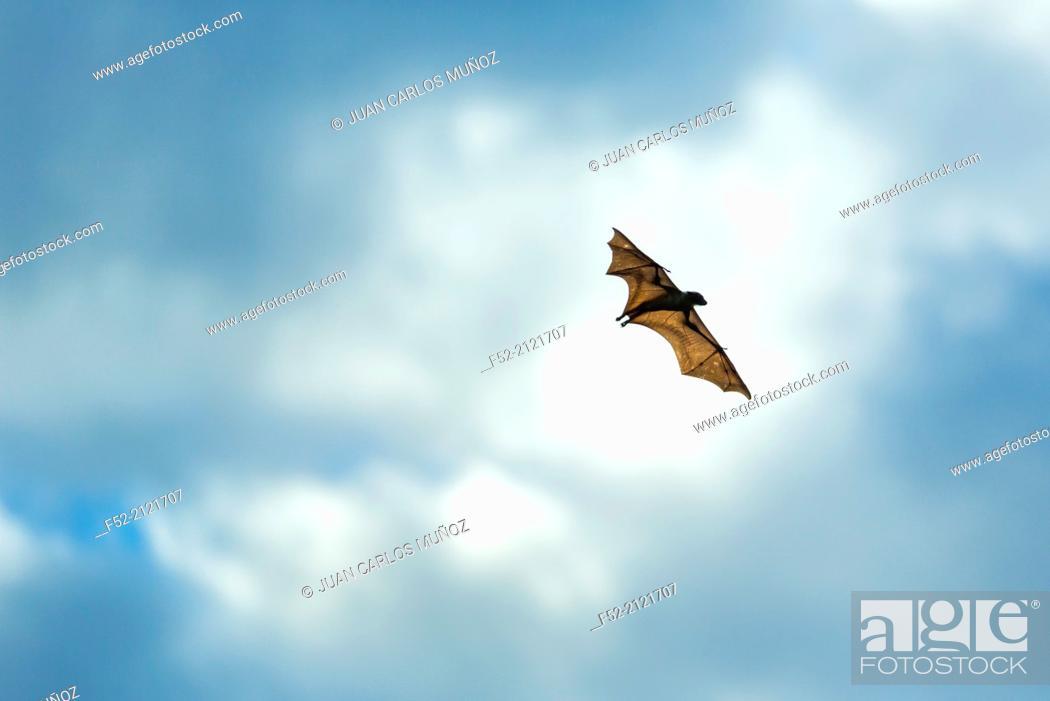 Stock Photo: Straw-coloured fruit bat (Eidolon helvum), Bat migration, Kasanka National Park, Serenje, Zambia, Africa.