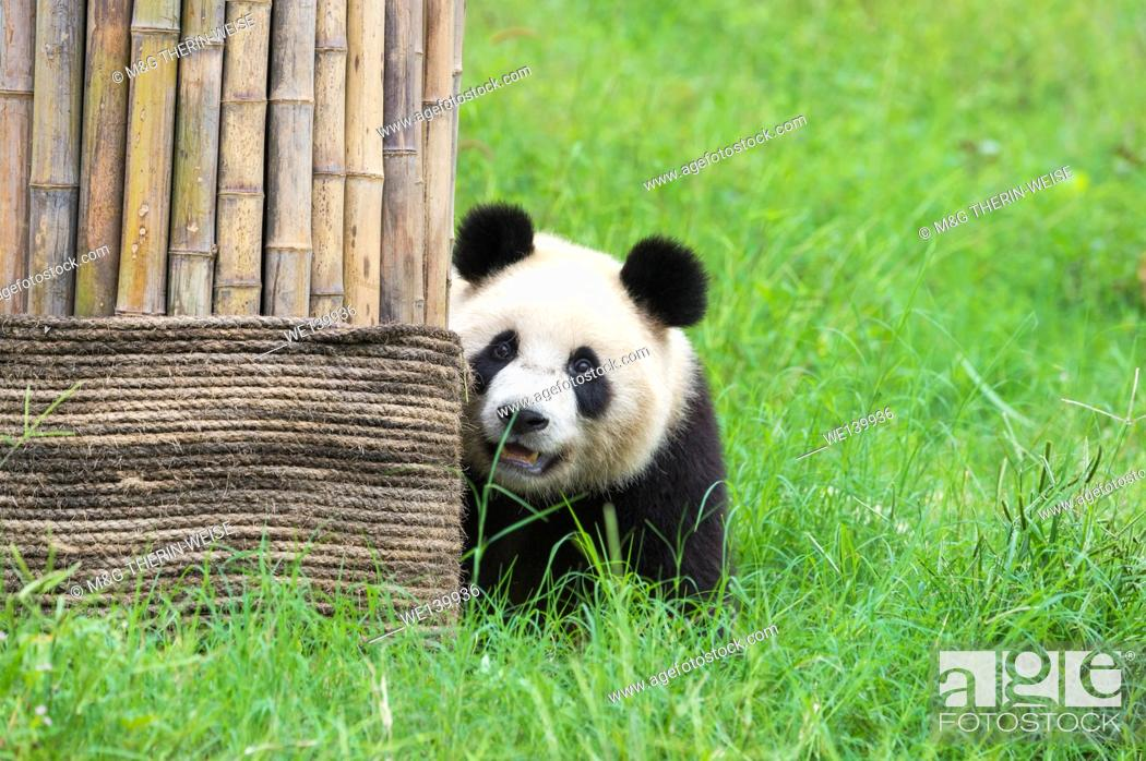 Stock Photo: Giant Panda (Ailuropoda melanoleuca), China Conservation and Research Centre for the Giant Pandas, Chengdu, Sichuan, China.