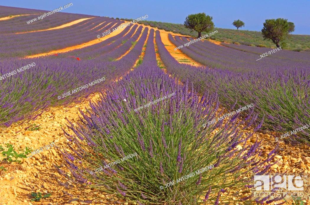 Stock Photo: Lavender field in full blossom at Valensole plateau. Alpes-de-Haute-Provence, France.