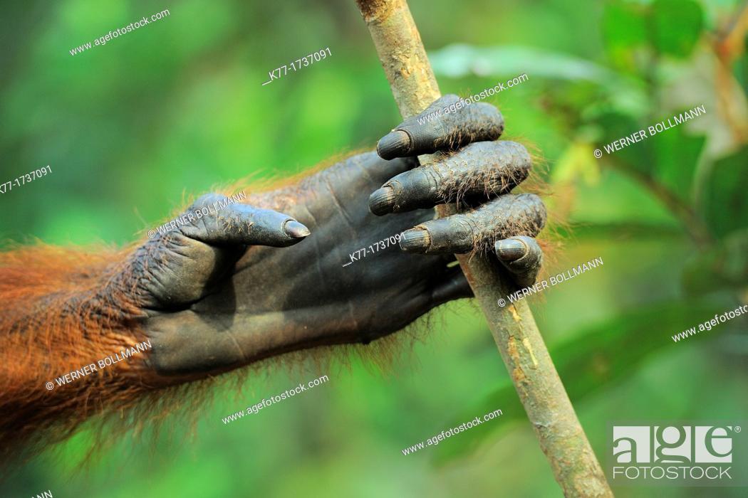Stock Photo: Hand of an Orang Utan Pongo pygmaeus, Tanjung Puting National Park, Province Kalimantan, Borneo, Indonesia.