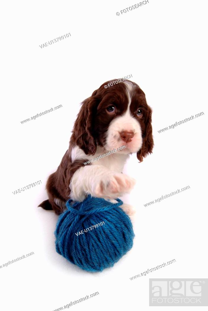 Stock Photo: house pet, springer spaniel, canines, domestic, spaniel, pose, english springer spaniel.