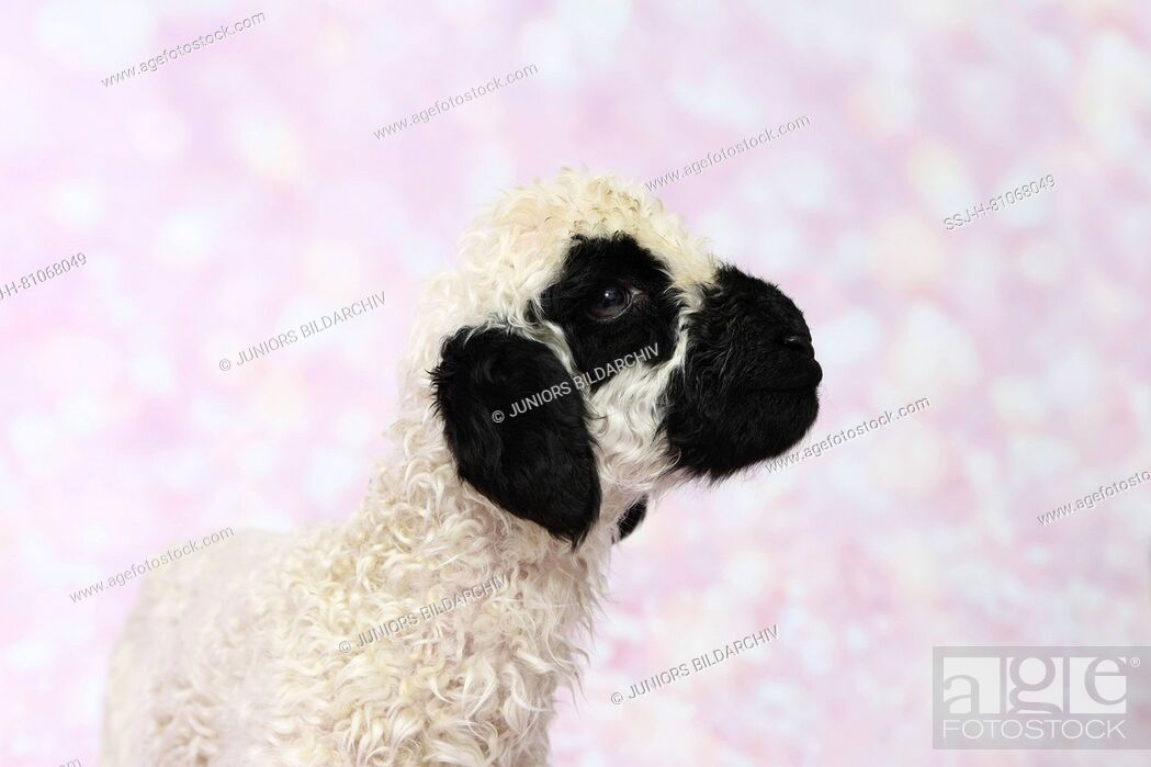 Stock Photo: Valais Blacknose Sheep. Portrait of a lamb (5 days old) Studio picture against a pink background. Germany.