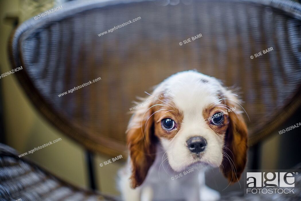 Stock Photo: Puppy on chair looking at camera.