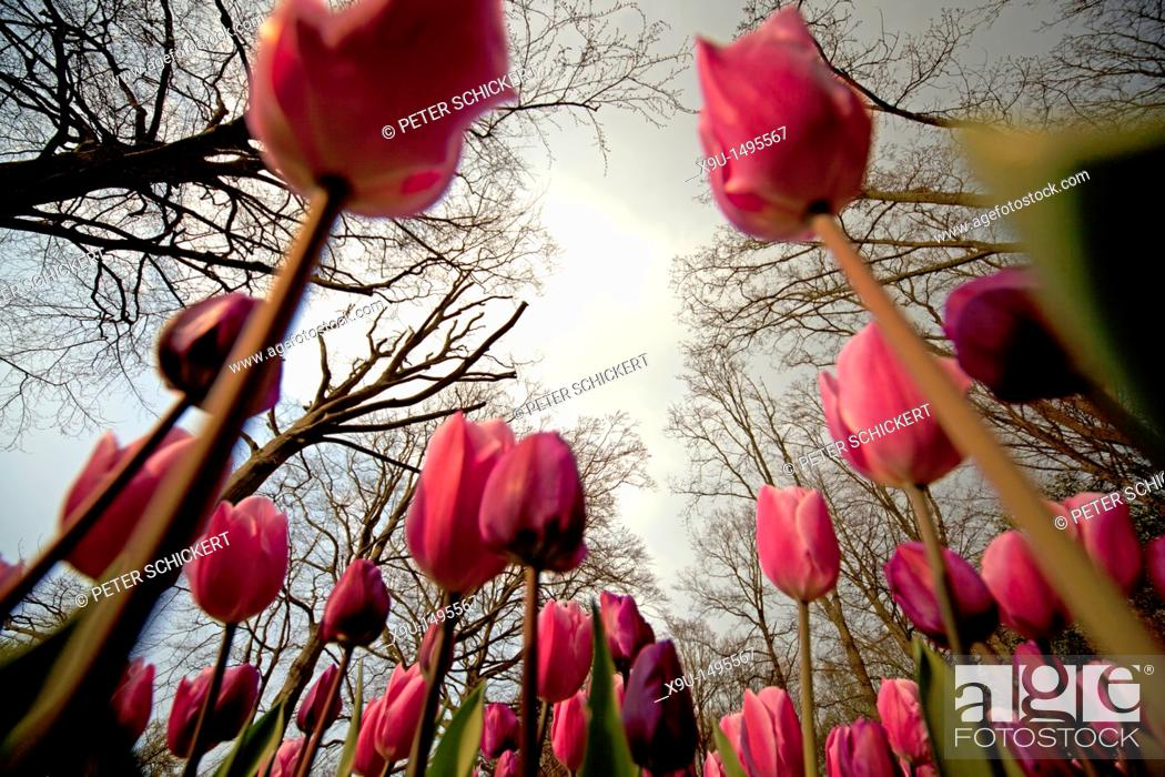 Stock Photo: field with pink Tulips Tulipa seen from the ground, Keukenhof, Netherlands, Europe.