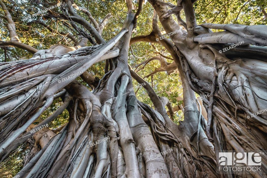 Stock Photo: Moreton Bay fig also called Australian banyan in Giardino Garibaldi park Palermo, the capital of autonomous region of Sicily.