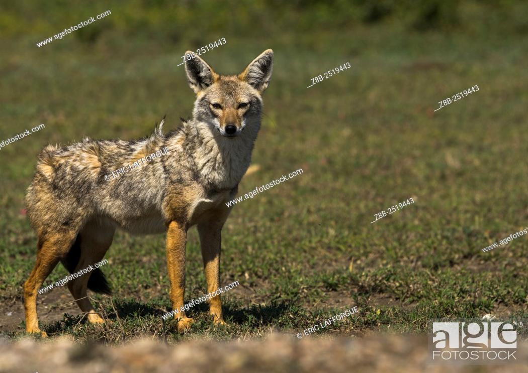 Stock Photo: Tanzania, Ashura region, Ngorongoro Conservation Area, black-backed jackal (canis mesomelas).