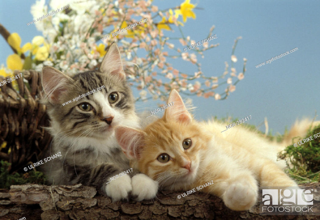 Stock Photo: A gray and a red kittens lying side by side.