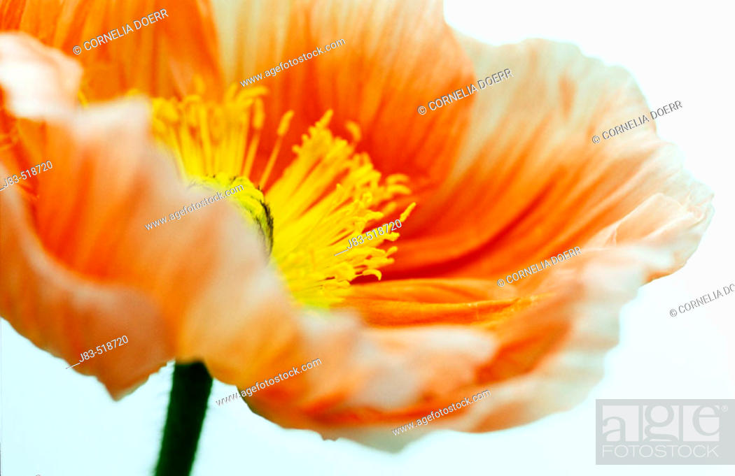 Stock Photo: Poppy blossom.