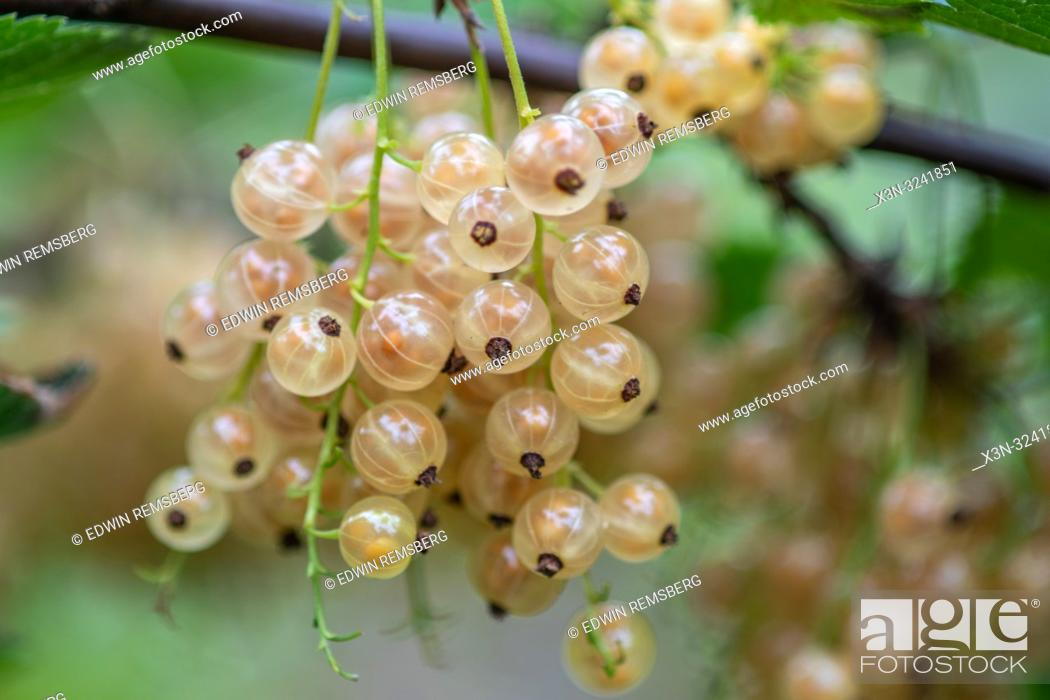 Imagen: White currants (Ribes rubrum) growing on a vine , Bialystok, Poland.