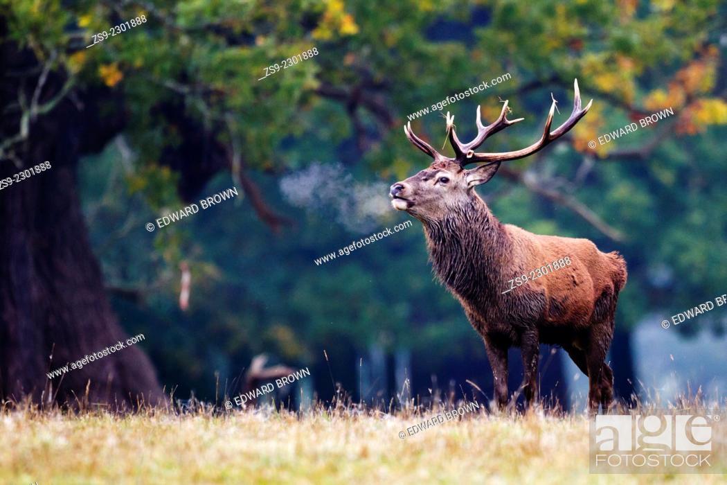 Stock Photo: Red deer stag (cervus elaphus) with hot breath, Windsor Great Park, Berkshire,England,UK.