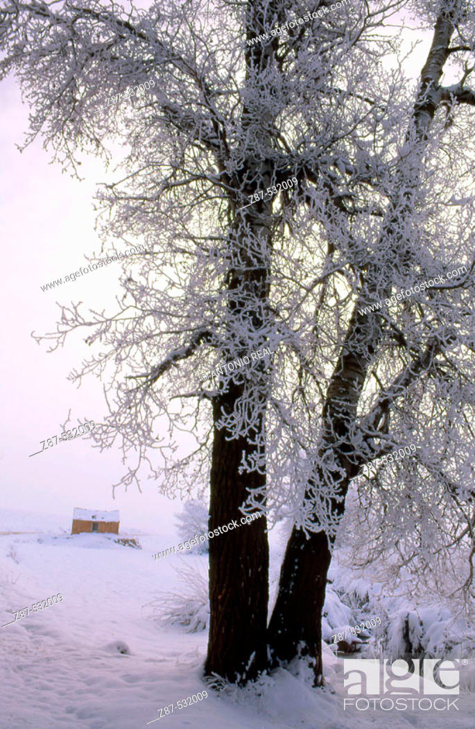 Stock Photo: Frozen White Poplar (Populus alba), Almansa. Albacete, Castilla-La Mancha, Spain.