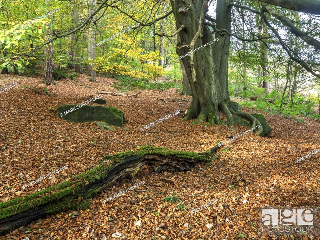 Stock Photo: Carpet of Fallen Leaves under a Tree in Abel Cote Wood in Autumn near Pecket Well Hebden Bridge West Yorkshire England.