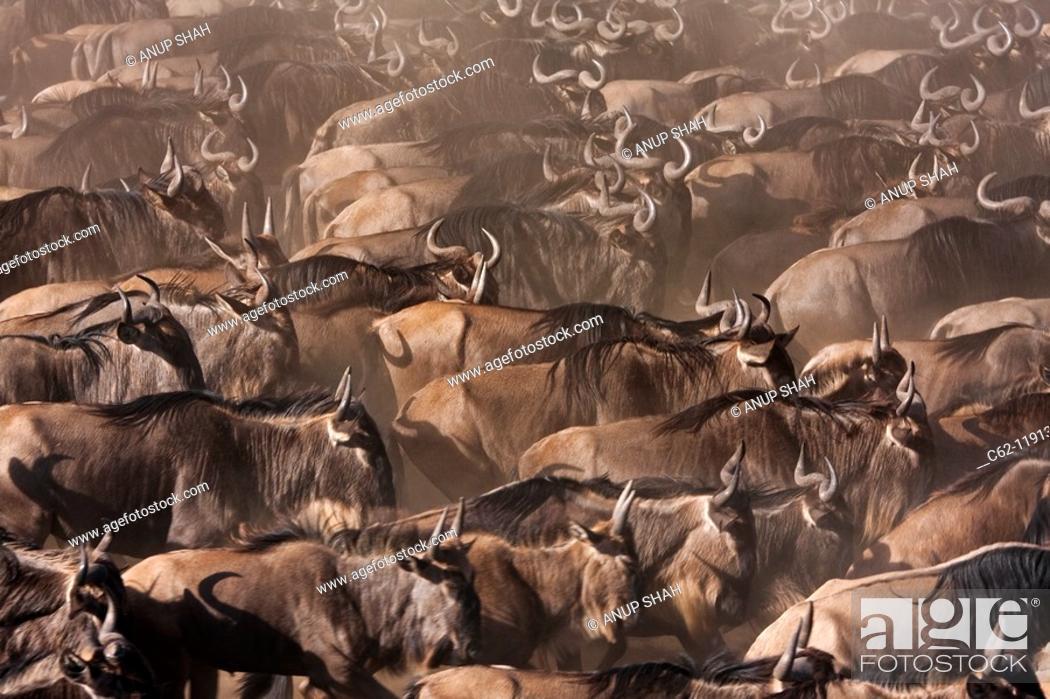 Stock Photo: Eastern White-bearded Wildebeest (Connochaetes taurinus) herd waiting to cross the Mara River, Maasai Mara National Reserve, Kenya.