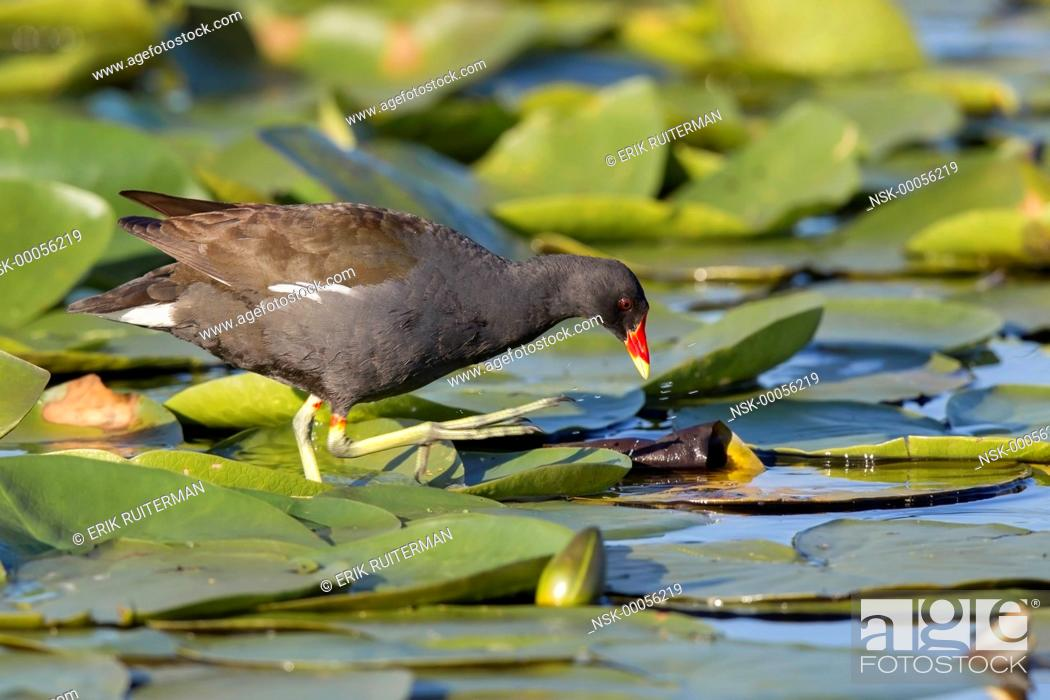 Stock Photo: Common Moorhen (Gallinula chloropus) foraging between European white water-lilies (Nymphaea alba), The Netherlands, Zuid-holland, Zouweboezem.