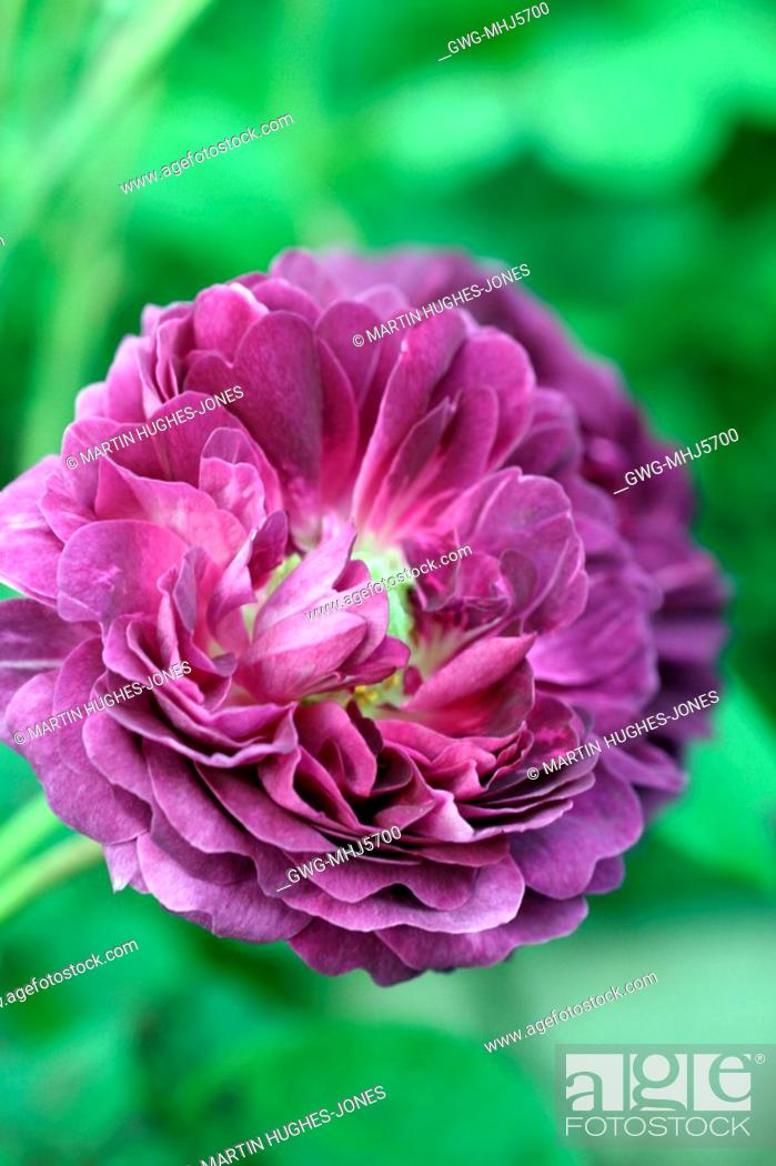 Rosa Cardinal De Richelieu Agm Gallica Rose Stock Photo Picture