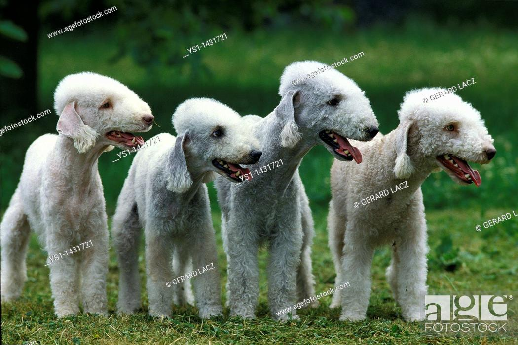 Stock Photo: BEDLINGTON TERRIER, GROUP OF ADULTS STANDING ON GRASS.