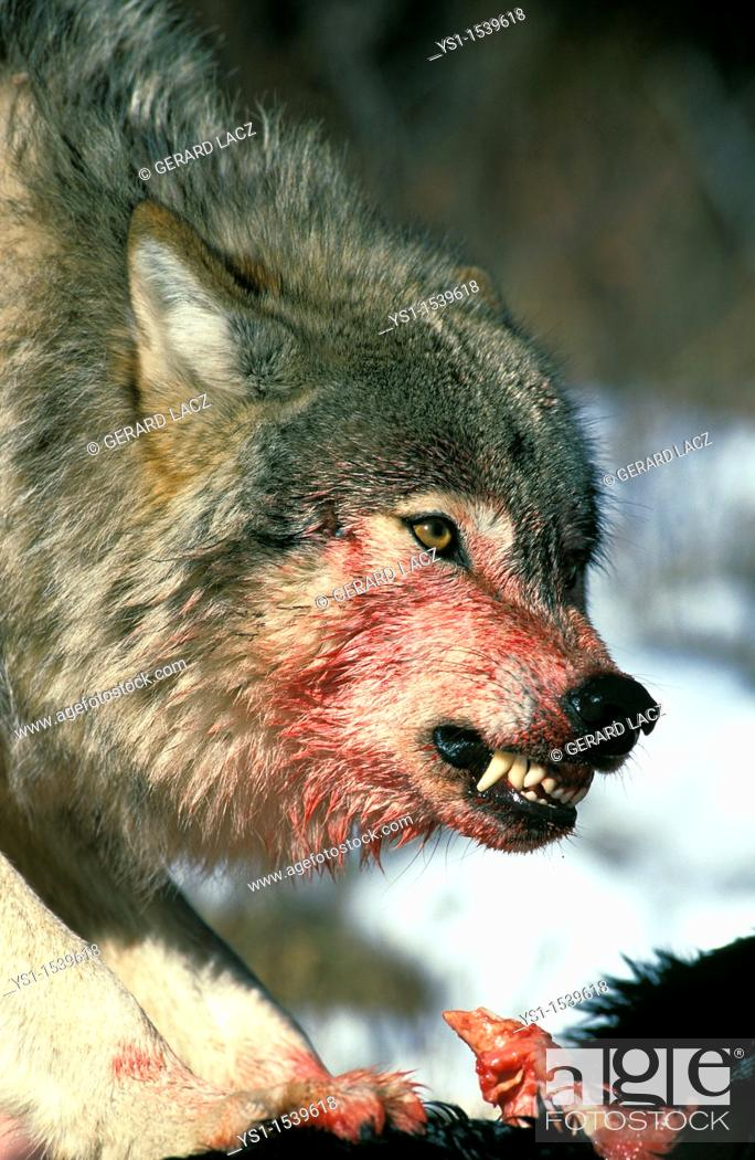 Stock Photo: North American Grey Wolf, canis lupus occidentalis, Adult with a Prey, Snarling, Canada.