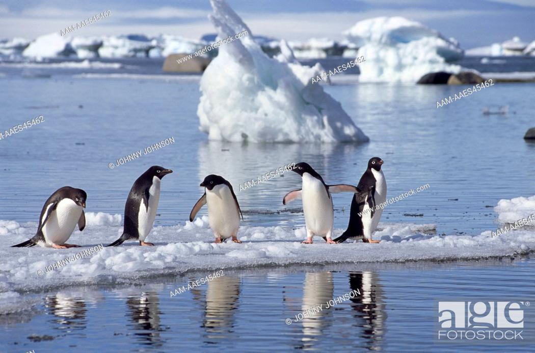 Stock Photo: Adelie Penguins (Pygoscelis adeliae) on ice floe reflected in the water, Devil's Island, Weddell Sea, Antarctic Peninsula, Antarctica.