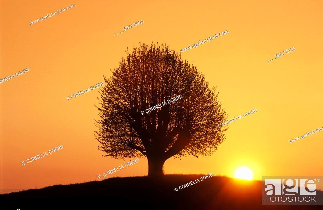 Stock Photo: Beech tree at sunrise near Bern, Switzerland.