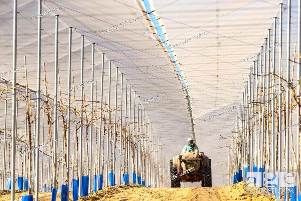 Stock Photo: Tractor spraying in vine greenhouse. Cieza. Murcia, Spain.