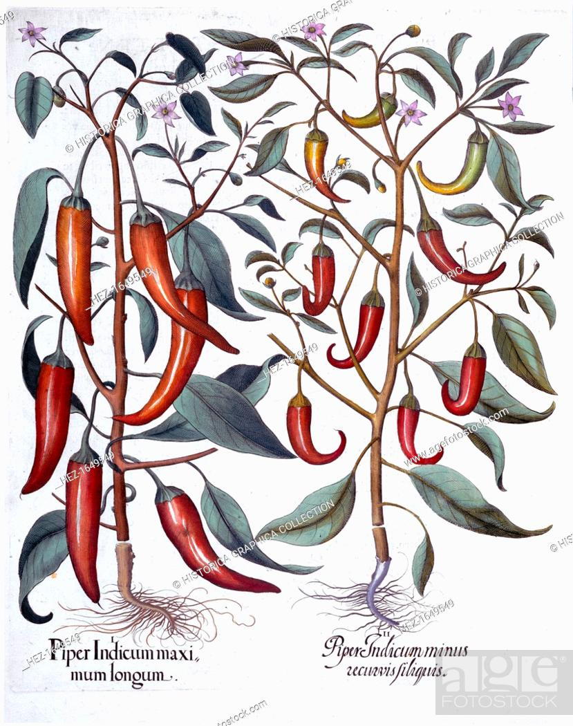 Stock Photo: Peppers, 1613. 1.Piper Indicum maximum longum; 2.Piper Indicum minus recurvis filiquis. From Hortus Eystettensis by Basil Besler (1561-1629), published in 1613.