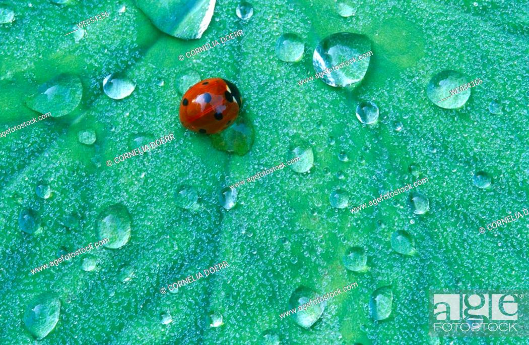 Stock Photo: Leaf with dew drops and seven-spot ladybug.